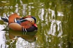 Canard de mandarine coloré Photos libres de droits