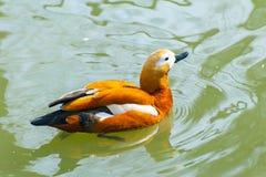 Canard de mandarine dans l'eau Photos libres de droits