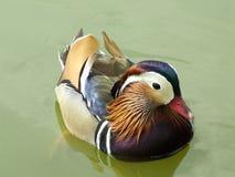 Canard de mandarine dans le plumage d'été Image libre de droits