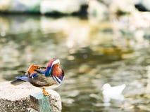 Canard de mandarine mâle Images libres de droits