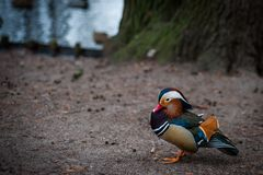 Canard de mandarine de parc de Varsovie photos stock