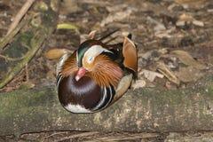 Canard de mandarine de sommeil Photographie stock libre de droits
