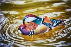 Canard de mandarine sur l'eau Image stock