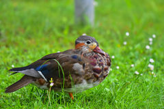 Canard de mandarine sur l'herbe Images libres de droits