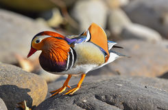 Canard de mandarine sur la roche Photo stock