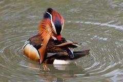 Canard de mandarine sur un étang 7 images libres de droits