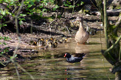 Canard de mère et ses canetons Photographie stock