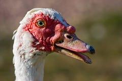 Canard de Muscovy image libre de droits