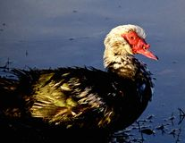 Canard de Muscovy Images stock