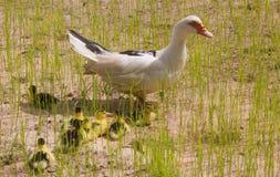 Canard de Muscovy Image stock
