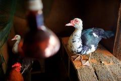Canard de Muscovy dans la cage de poulet avec l'autre volaille Photo stock