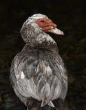 Canard de Muscovy gris et rouge Photos libres de droits