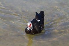 Canard de Muscovy (moschata de Cairina) Photographie stock