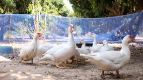 Canard de Muscovy ou canard de Barbarie dedans dans la campagne images stock