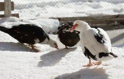 Canard de Muscovy se tenant sur la neige Image libre de droits