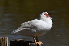 Canard de Muscovy sur le poteau au soleil photos stock