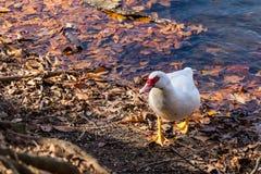 Canard de Muscovy sur le rivage du lac Images libres de droits