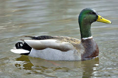 Canard de natation Photo stock