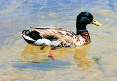 Canard de natation Photos stock
