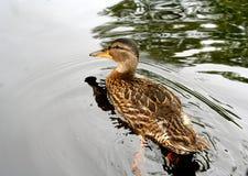 Canard de natation Photographie stock