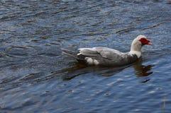 Canard de natation dans la belle couleur image libre de droits