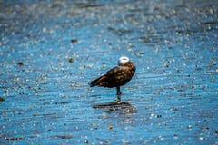 Canard de paradis images stock