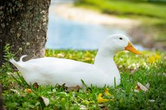 Canard de Pekin se reposant dans l'herbe avec l'étang à l'arrière-plan Image stock