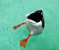 Canard de plongée Photos libres de droits
