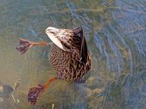Canard de plongée photos stock