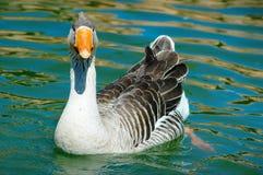 Canard de Portraied Photos libres de droits