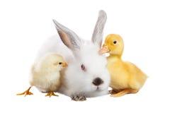 Canard de poulet de lapin Images libres de droits