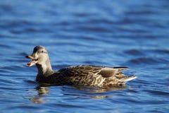 Canard de Quacking image libre de droits