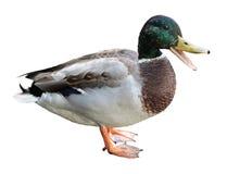 Canard de Quacking photos libres de droits