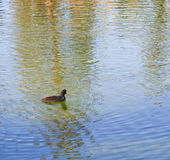 Canard de Quacking en ondulant le lac réfléchi photo stock