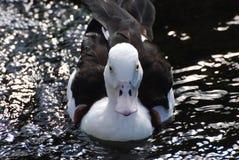Canard de regard très intéressant dans l'eau photographie stock