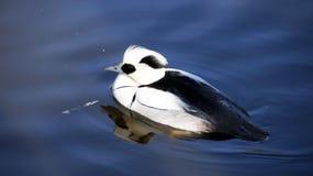 Canard de Smew Photographie stock libre de droits