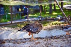 Canard de sommeil photo libre de droits