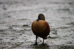 Canard de sommeil dans la boue Photos stock
