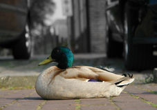 Canard de stationnement Photo stock