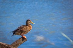 Canard debout photographie stock