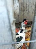 Canard derrière une barrière photo stock
