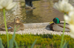 Canard deux Photo stock