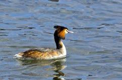 Canard Diverse couleur de plumage images libres de droits