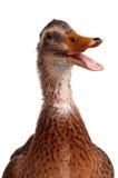 Canard domestique Photo libre de droits