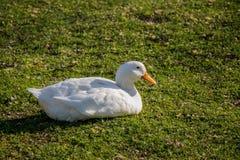 Canard domestique marchant dans le domaine Photo stock
