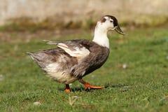 canard domestique sur la pelouse images libres de droits