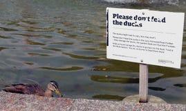 Canard effronté Image libre de droits
