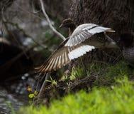 Canard en bois photographie stock libre de droits