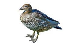 Canard en bois australien ou canard maned d'isolement sur le fond blanc image libre de droits