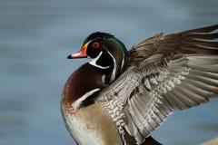 Canard en bois coloré Images stock